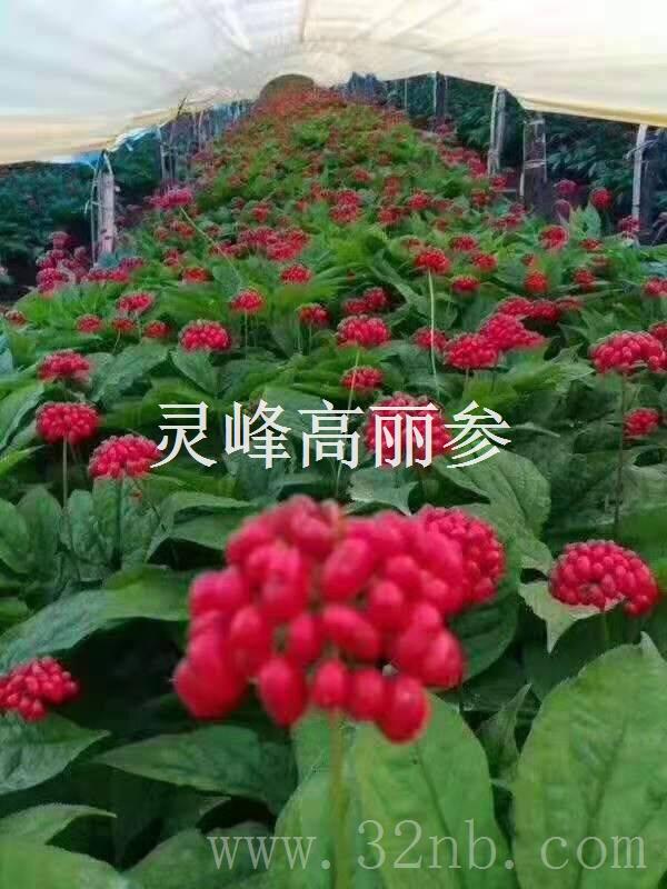 种植高丽参的产量分析