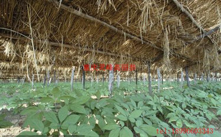 种植高丽参的产量分析(www.32nb.com)